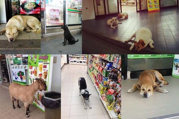 Ils sont aussi populaires auprès des chiens et chats errants - 10 choses que tu ne sais (probablement) pas sur les 7-Eleven en Thaïlande en 2021 - que faire en thailande